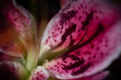 Lily, Shadows, Abstract, Pink, Flower, Nature, Blossom