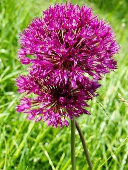 Ornamental Onion, Allium, Blossom, Bloom, Flower Heads