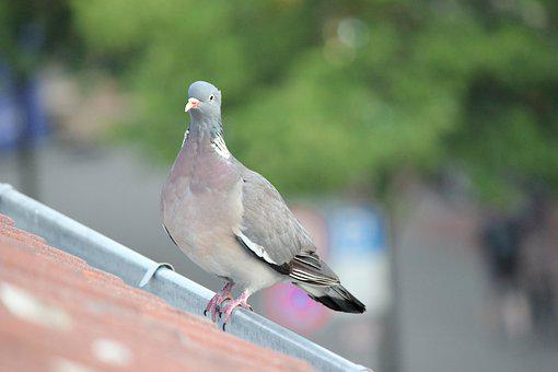 Dove, Roof, City Pigeon, Urban, Plage, Bird, Nature