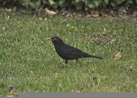 Black Bird, Bird, Park, England, Feather, Plumage