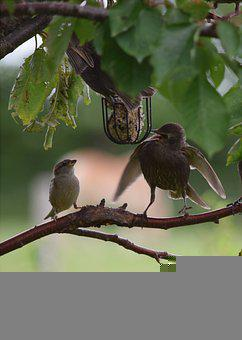 Birds, Feeding, Star, Sparrow, Feather, Animal World