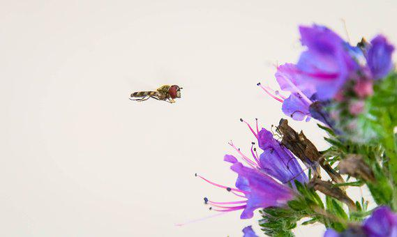 In-flight, Insect, Bee, Hoverfly, Fly-in-pajamas