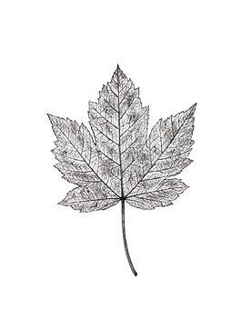Autumn Leaf, Autumn, Leaf, Maple