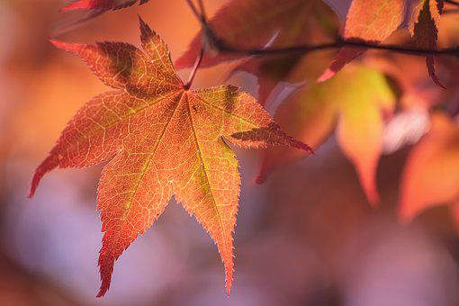 Japanese Maple, Tree, Nature, Red, Maple, Garden, Leaf