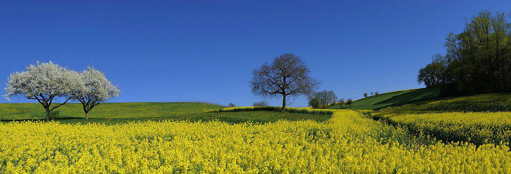 Field, Rapeseed, Yellow, Apple