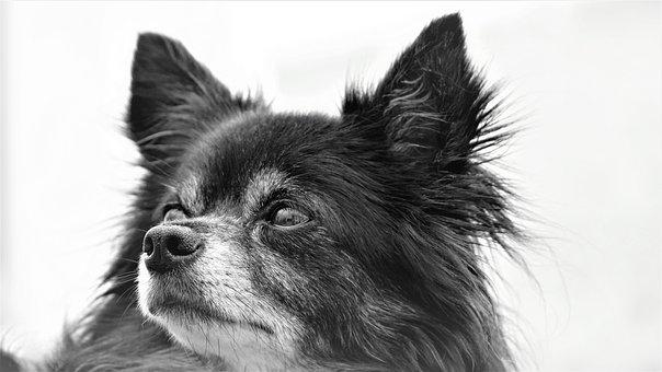 Chihuahua, Dog, Doggy, Small, Sweet, Cute, Black White