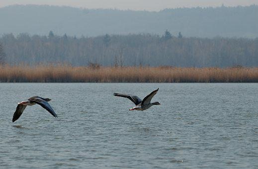 Wild Goose, Lake, Water Bird, Greylag Goose, Flight