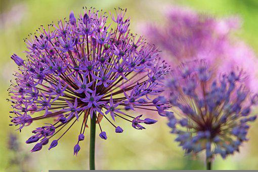 Ornamental Onion, Flower Bed, Nature, Garden, Bloom