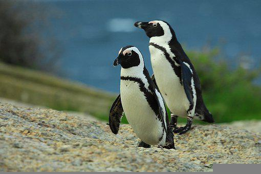 Penguin, Bird, Animal, Penguins, Animals In The Wild