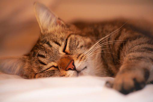 Cat, Portrait, Sleeping, Close Up, Head, Young