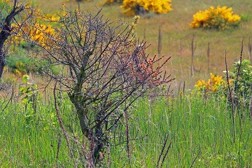 Buckthorn Die, Sea Buckthorn, Fruit, Dead Plant