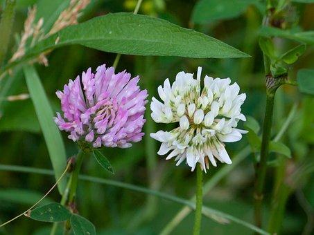 White Clover, Pink Clover, Trifolium Repens, Clover
