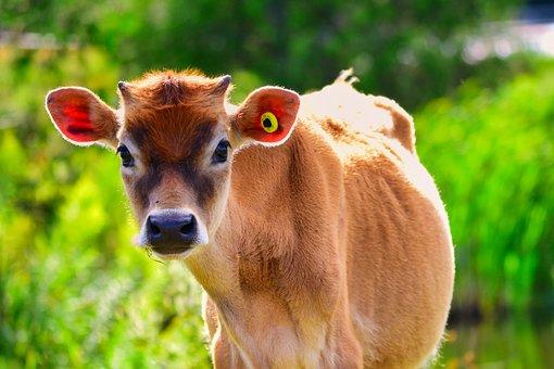 Calf, Cow, Cattle, Animal, Farm, Pasture