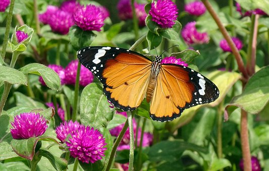Butterfly, Plain Tiger, Insect, Danaus Chrysippus