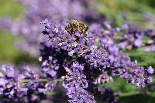 Lavender, Bee, Flower, Pollen, Nectar, Pollination