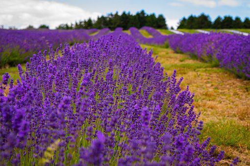 Lavender, Farm, Purple, Field, Nature, Flower, Oregon