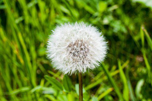 Dandelion, Ripe, Plant, Flower, Nature, Seeds, White