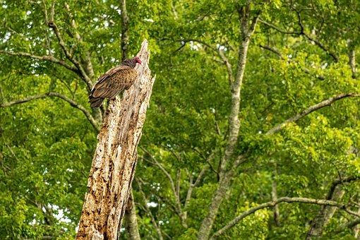 Vulture, Turkey Vulture, North Carolina Vulture, Bird
