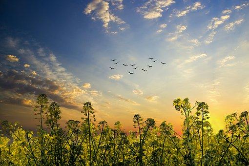 Oilseed Rape, Plant, Yellow, Field Of Rapeseeds