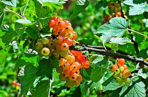 Currant, Fruit, Garden, Food, Vitamins, Delicious