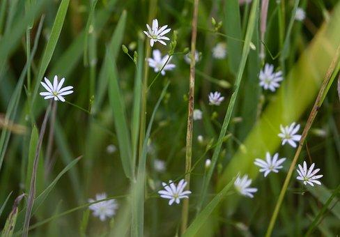 Lesser Stitchwort, Stellaria Graminea