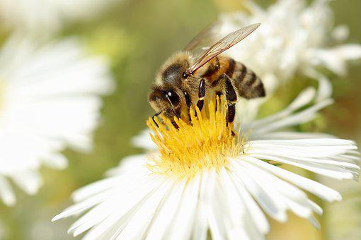 Honey Bee, Bee, Insect, Aster, Blossom, Bloom, Nectar