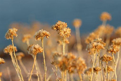 Flowers, Plants, Field, Sunlight, Helichrysum Italicum