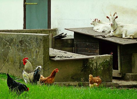Goats, Chickens, Animals, Country Life, Farm, Stall