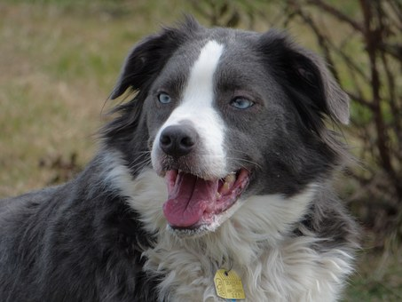 Border Collie, Australian Shepherd, Pet, Collie, Dog