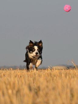 Border Collie, Running Dog, Field, Summer, Ball Junkie