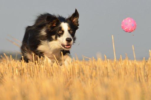 Border Collie, Running Dog, Field, Summer, Ball
