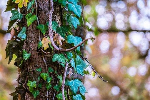 Ivy, Light Reflections, Autumn, Fade Effect, Bark