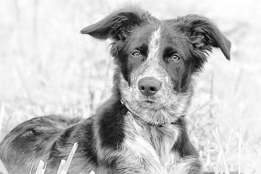 Dog, Berger, Black And White, Dog Portrait, Animal