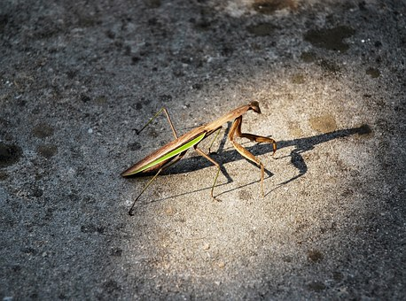 Mantis, Light, Photography, Hd, Big Picture, Insect