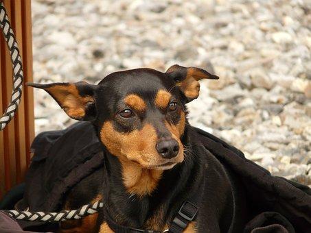 Dog, Pinscher, Animal, Creature, Brown, Black, Face