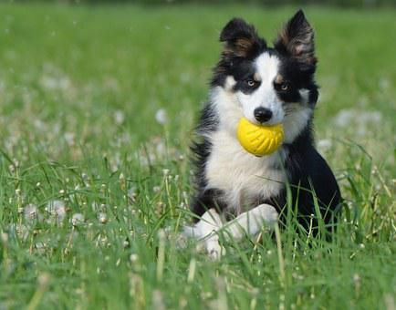 Border Collie, Dog With Ball, Apport, Running Dog