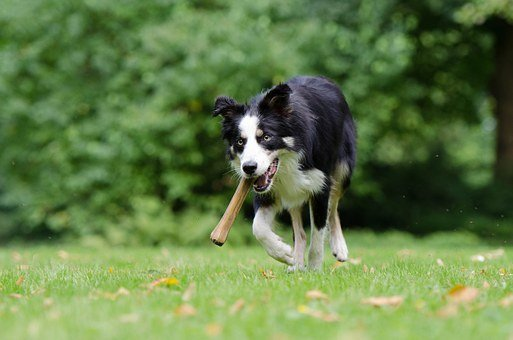 Border Collie, Dog With A Bone