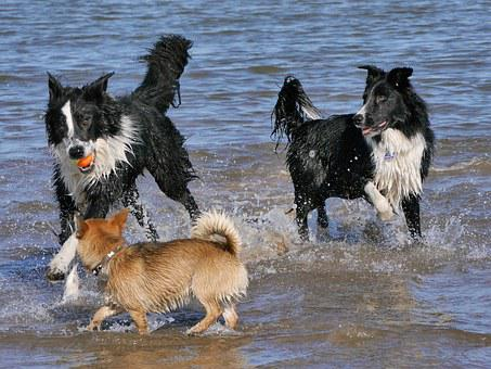 Border Collie, Dogs Playing, Sea, Pomchi, Water, Wet