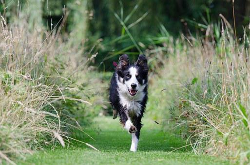 Border Collie, Running Dog, Call Up, Training