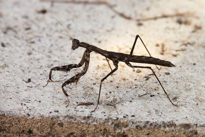 Mantis, Insect, Brown, Concrete
