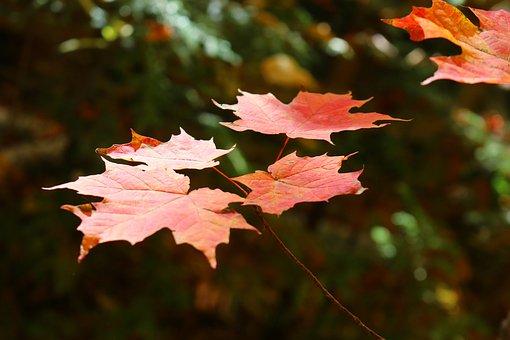 Maple, Leaf, Maple Leaf, Forest, Tree, Cottage