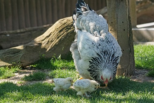 Brahama, Chicken, Hen, Chicks, Poultry, Country Life