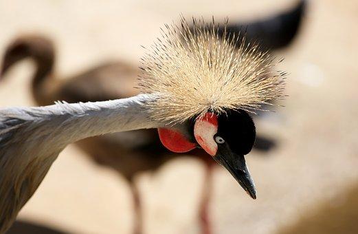 Crowned Crane, Crown, Crest, Head, Closeup
