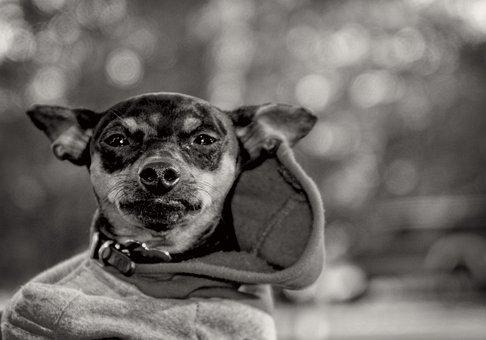 Dog, Animal, Pet, Miniature Pinscher, Canine, Puppy