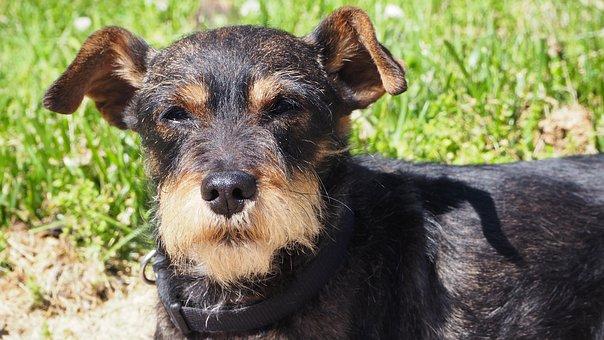 Dog, Pet, Animal, Miniature Pinscher, Schnauzer
