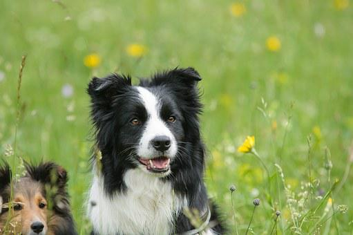 Border Collie, Sheltie, Dog, Animal, Shetland Sheepdog