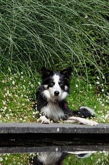 Border Collie, Water Garden, Dog Basks, Summer