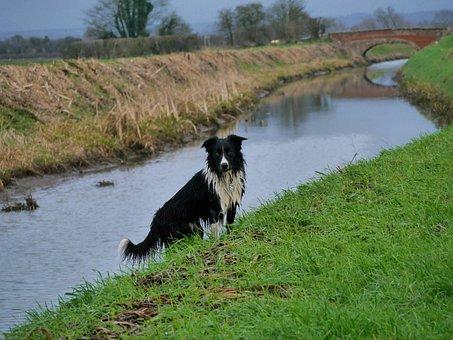 Border Collie, Rive, Bridge, Dog