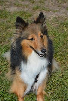 Long-haired Collie, Dog, Cute, Sweet, Long Coat, Doggy