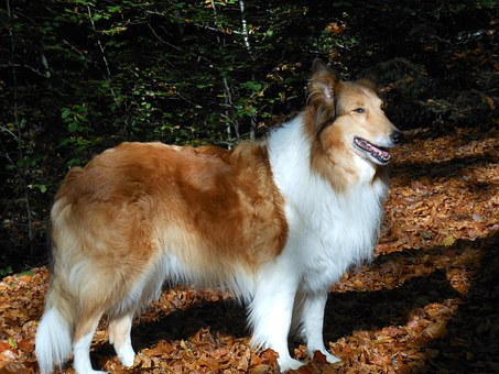 Dogs, Scottish Shepherd, Shepherd Dog, Forest, Pet, Dog